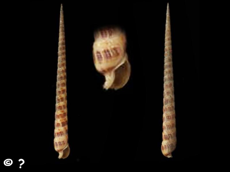 Terebra pretiosa - Reeve, 1842 Terebr19