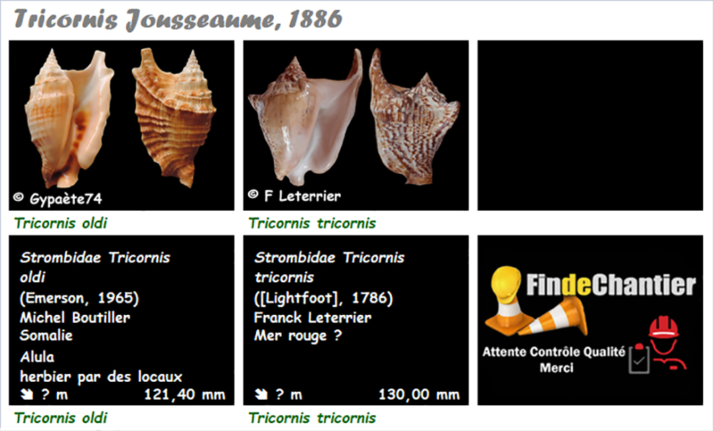 Strombidae Tricornis - Le genre, ses espèces, la planche Tricor10