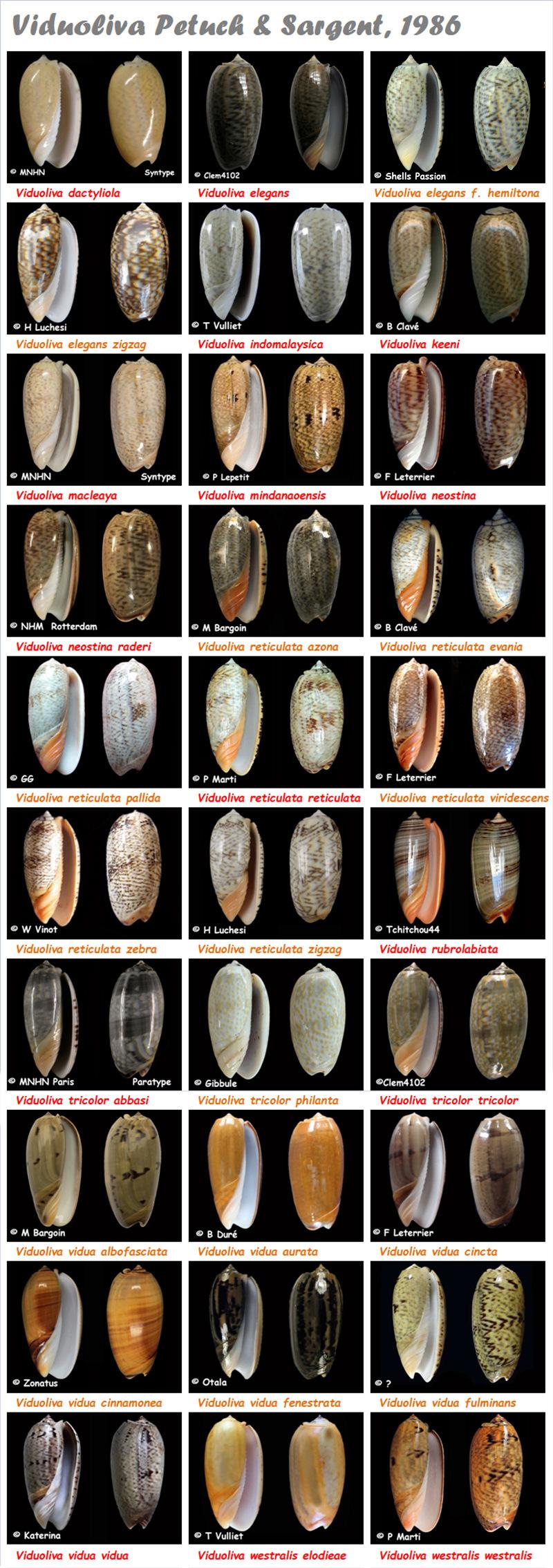 Olividae Viduoliva - Le genre, les espèces, la planche Viduol12