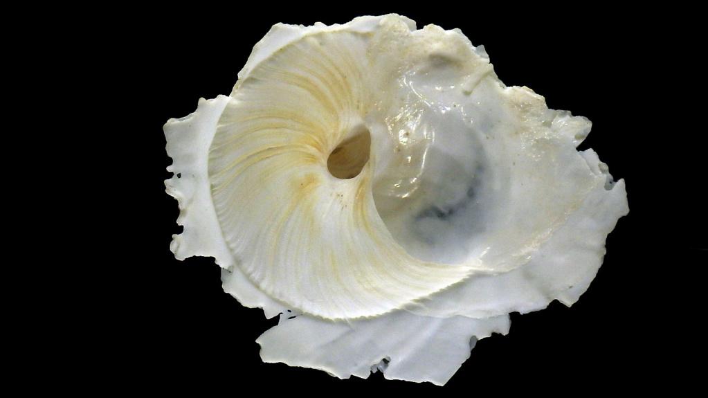 Onustus longleyi - (Bartsch, 1931) X_onus10