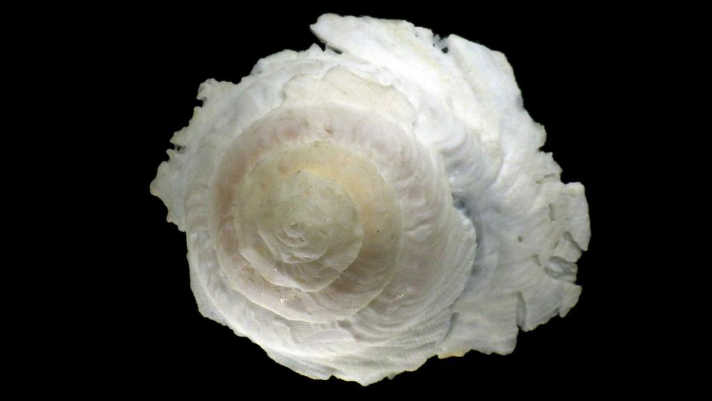 Onustus longleyi - (Bartsch, 1931) X_onus11
