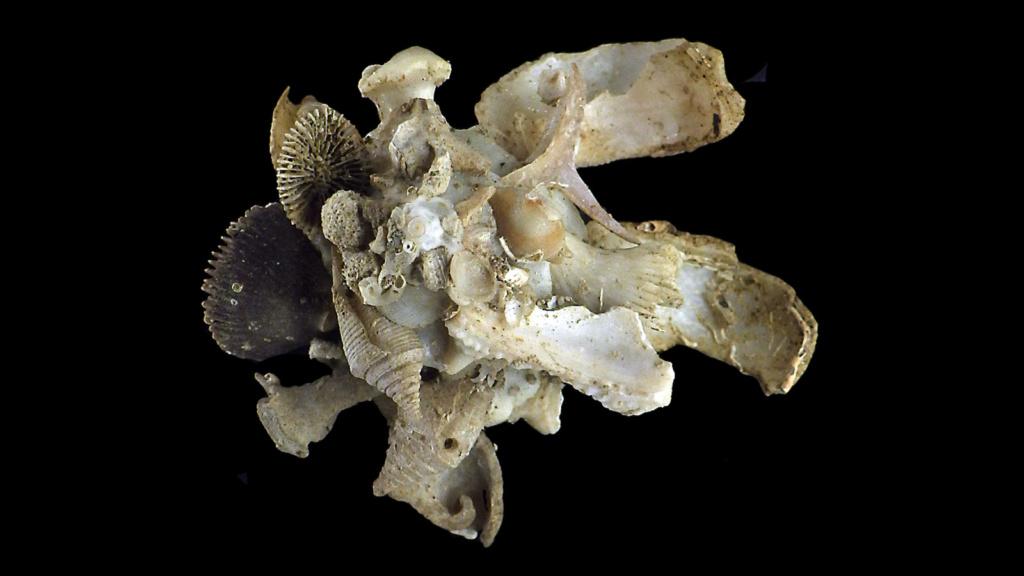 Xenophora torrida Kuroda & Ito, 1961 voir Xenophora cerea Reeve, 1845 X_xeno15