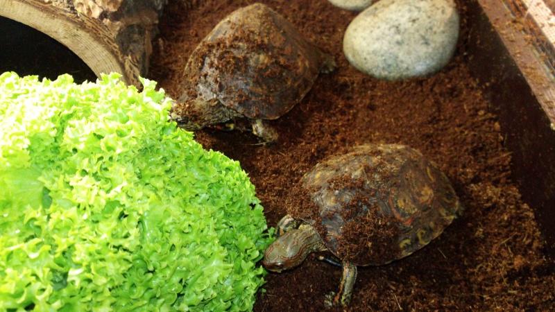 Présentation de ma rhinoclemmys pulcherrima manni Img_2027