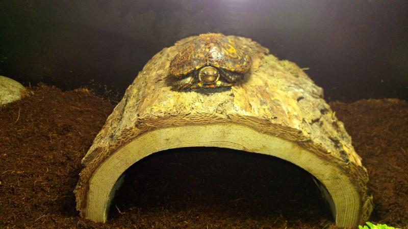 Présentation de ma rhinoclemmys pulcherrima manni Img_2029