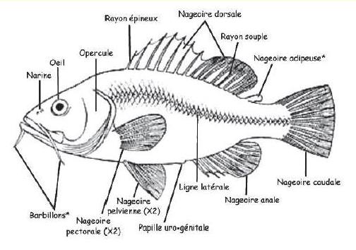 Morphologie des poissons Poisso10