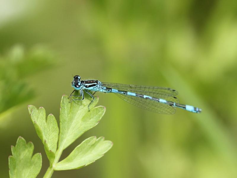 Nouvelle espèce Carré Moredelles : C. mercuriale Img_6811