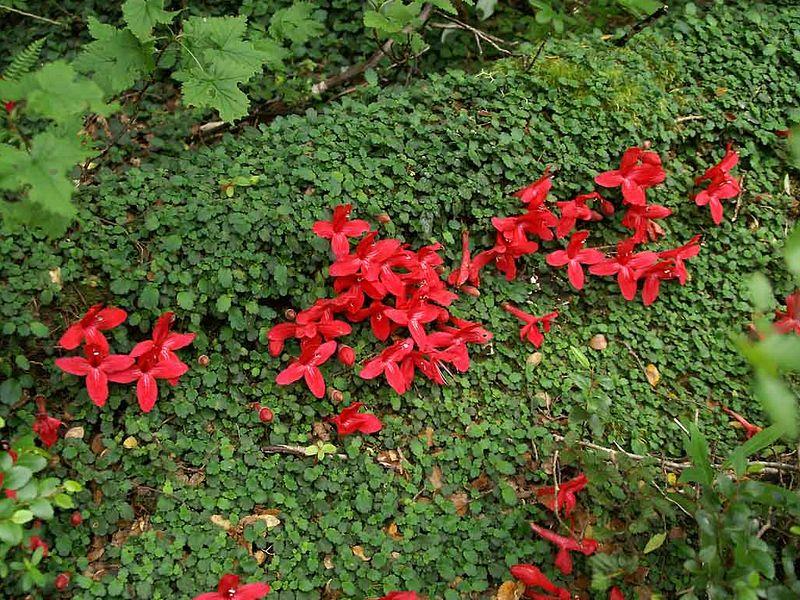 Gesneriaceae - la famille 2159_a10