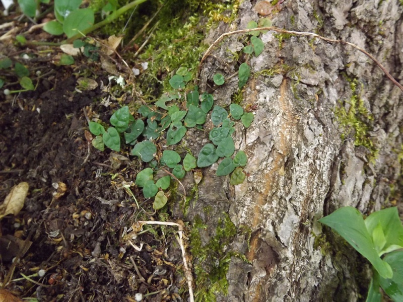 vos plus beaux feuillages - Page 10 Ficus_10