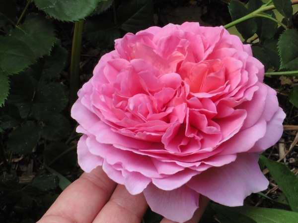 Rosa 'Princesse Alexandra of Kent' !!! P1130214