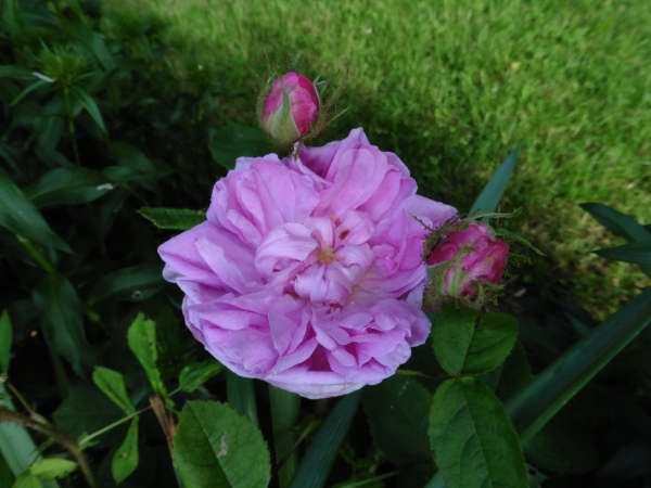 rosier moussu salet  P1130714