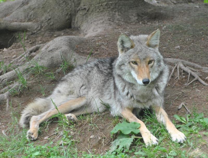 Au repos Coyote10