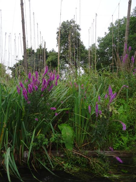 hortillonnages d'Amiens 1_sali10