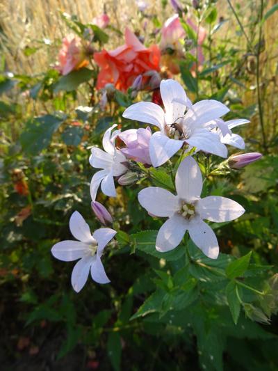 butinages du jour à l'ombre de nos plantes  Campan10
