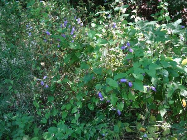 Campanula trachelium - campanule à feuilles d'ortie Campan13