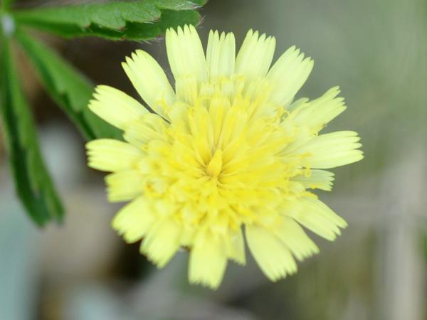 Pilosella officinarum (= Hieracium pilosella) - piloselle Hierac10