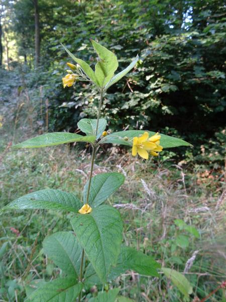 Lysimachia vulgaris - lysimaque commune Lysima10