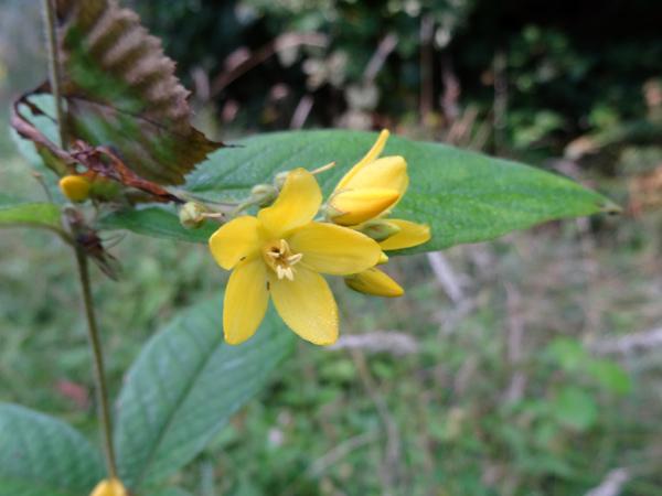Lysimachia vulgaris - lysimaque commune Lysima11