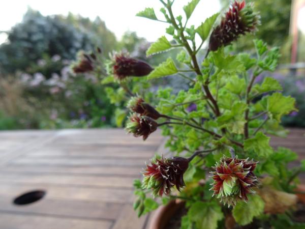 butinages du jour à l'ombre de nos plantes  P_fir_10