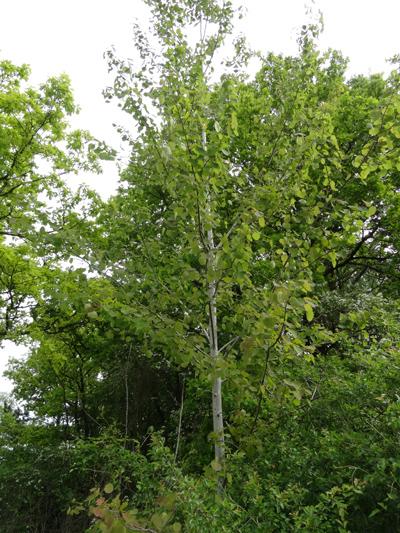 Populus tremula - tremble, peuplier tremble  Peupli10