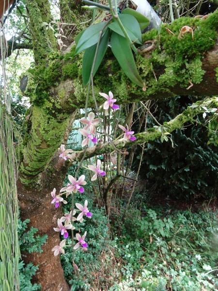 Phalaenopsis - hybrides primaires - Page 2 Phal_m12