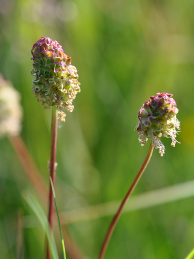 Sanguisorba minor - petite pimprenelle Pimpre12