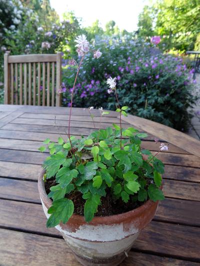 butinages du jour à l'ombre de nos plantes  Thalic10