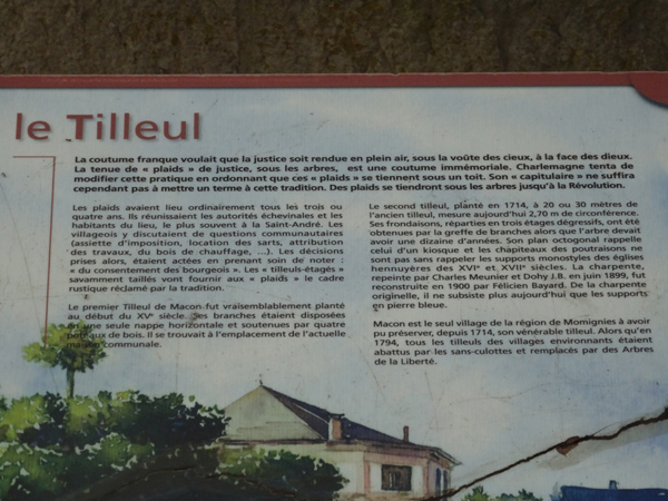 Tilia x europaea - tilleul commun Tilleu12