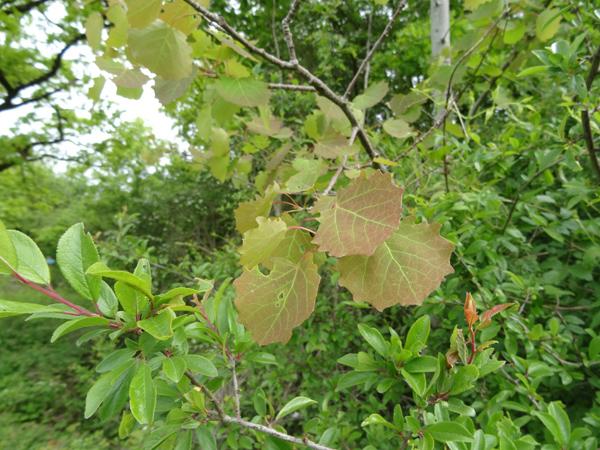 Populus tremula - tremble, peuplier tremble  Trembl10