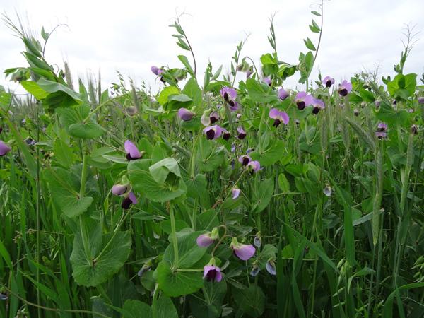 Pisum sativum sp sativum v. arvense - pois fourrager, pois des champs  Vicia_10