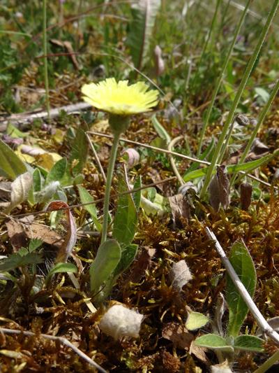 Pilosella officinarum (= Hieracium pilosella) - piloselle Ypervi10