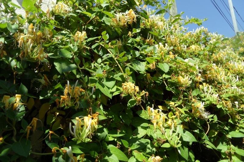 Chèvrefeuille des Jardins  -Lonicera- plante grimpante à  floraison très parfumée Sam_0415