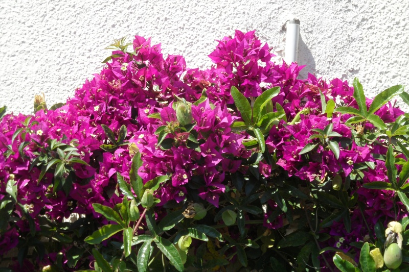 les bougainvilliers - Page 3 Sam_0424