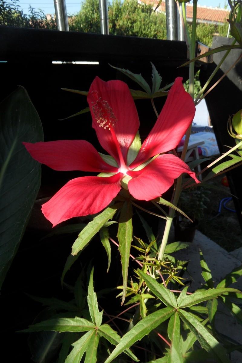 Floraisons du mois d'Août - Page 10 Sam_0527