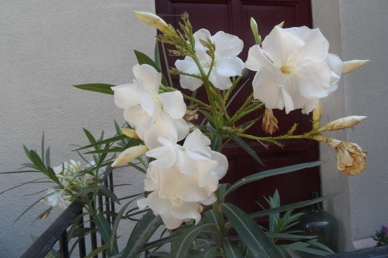 Floraisons du mois d'Août - Page 10 Sam_0528