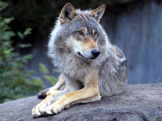 """Légende amérindienne : """"Les deux loups"""" Loups-10"""