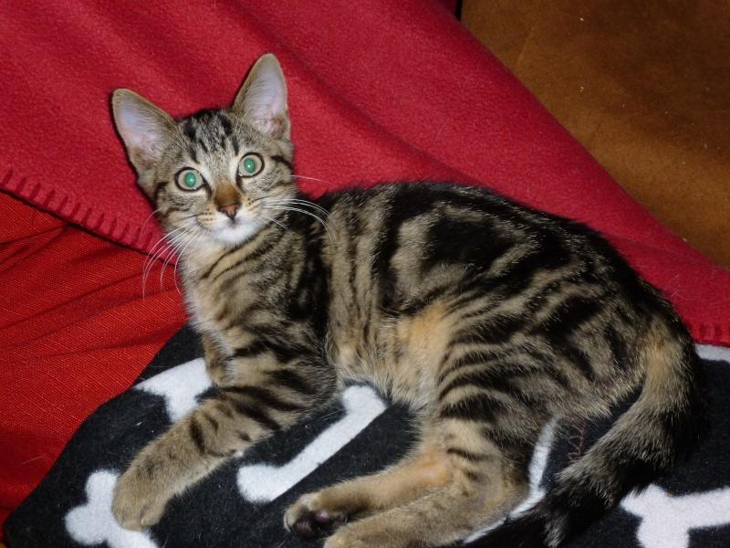 GRIBOUILLE, adorable chaton marbré de 10 semaines P1010757