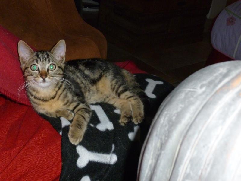 GRIBOUILLE, adorable chaton marbré de 10 semaines P1010759