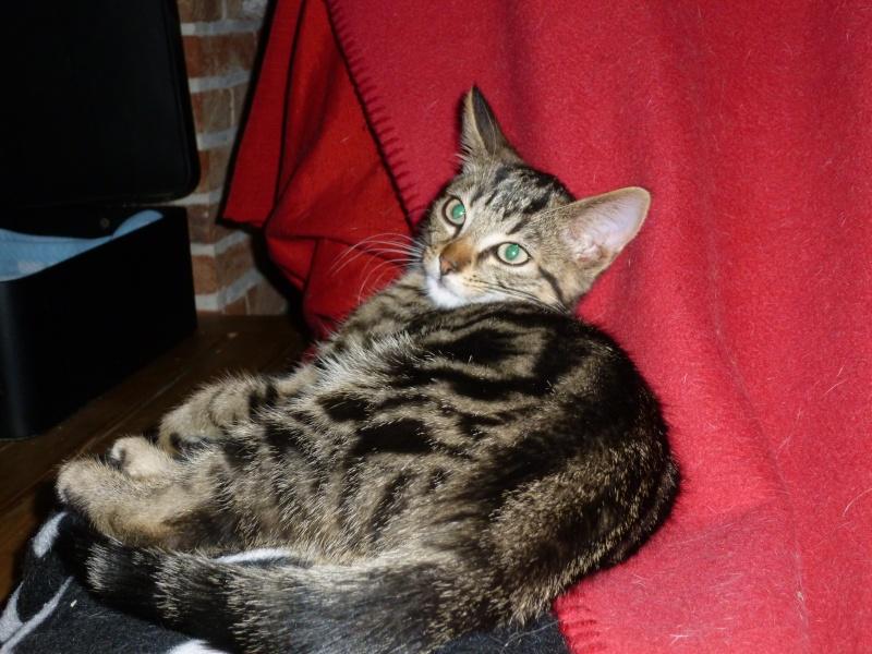 GRIBOUILLE, adorable chaton marbré de 10 semaines P1010760