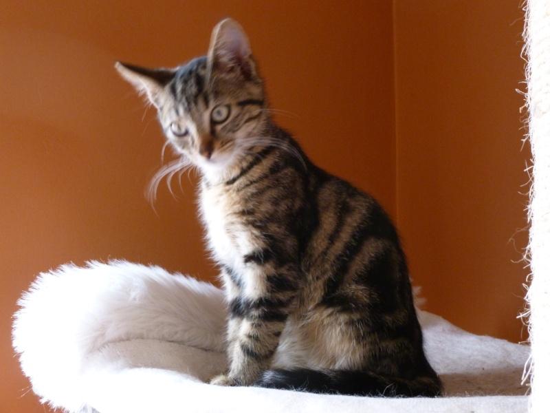 GRIBOUILLE, adorable chaton marbré de 10 semaines P1010847