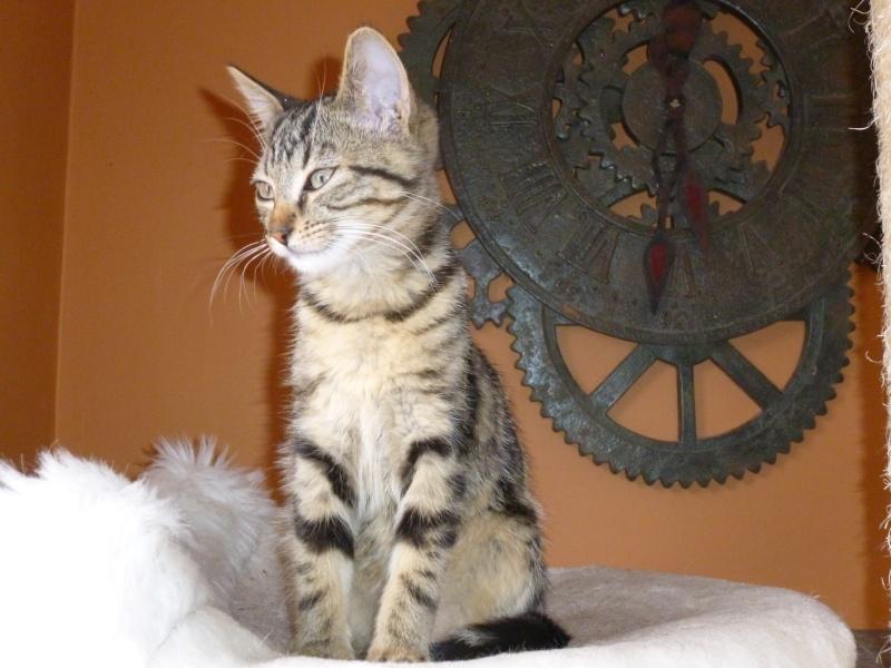 GRIBOUILLE, adorable chaton marbré de 10 semaines P1010848