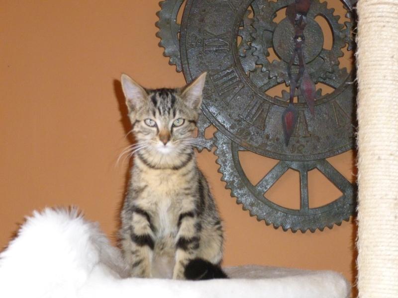 GRIBOUILLE, adorable chaton marbré de 10 semaines P1010849