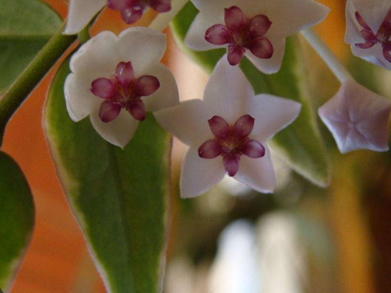 Blüten 2015 - Seite 2 H_bell10