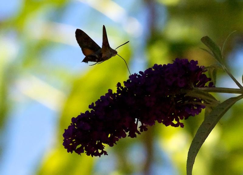 Dans l'arbre à Papillon Moro11