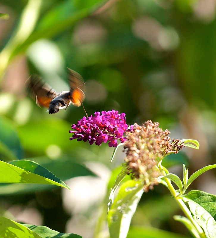 Dans l'arbre à Papillon Moro_410