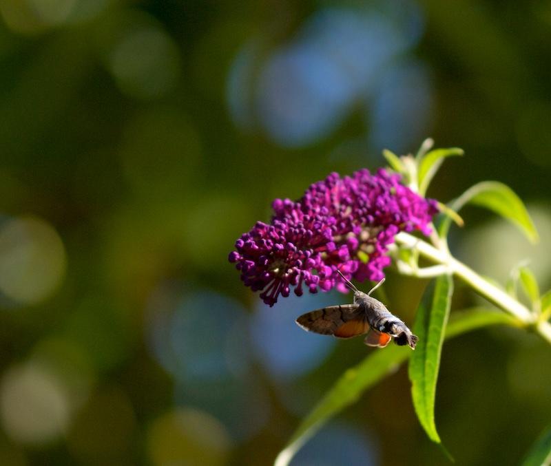 Dans l'arbre à Papillon Moro_510