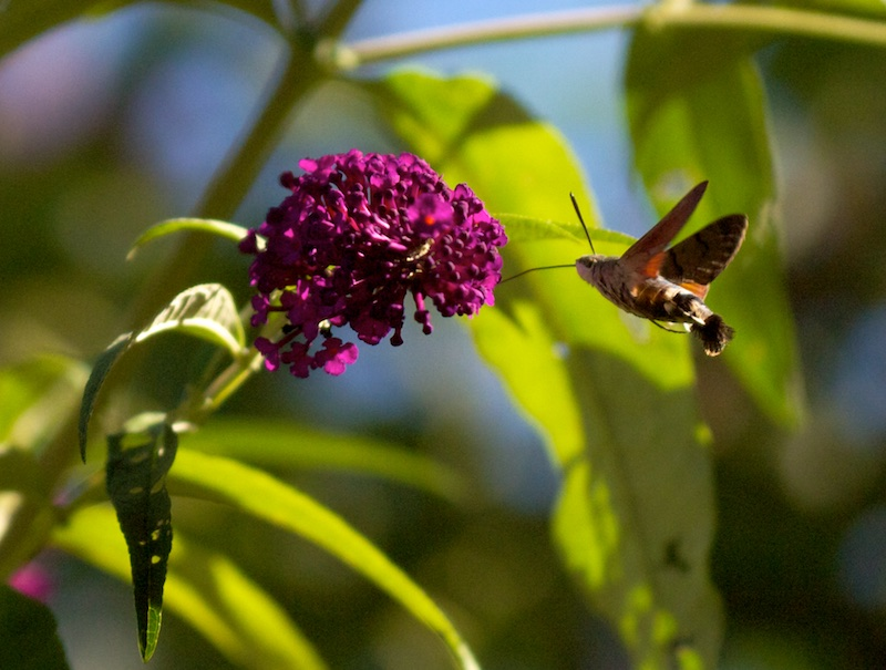 Dans l'arbre à Papillon Moro_610