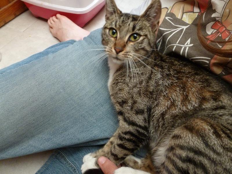 Sora, petite tigresse avec des chaussettes - ADOPTÉE P1080511