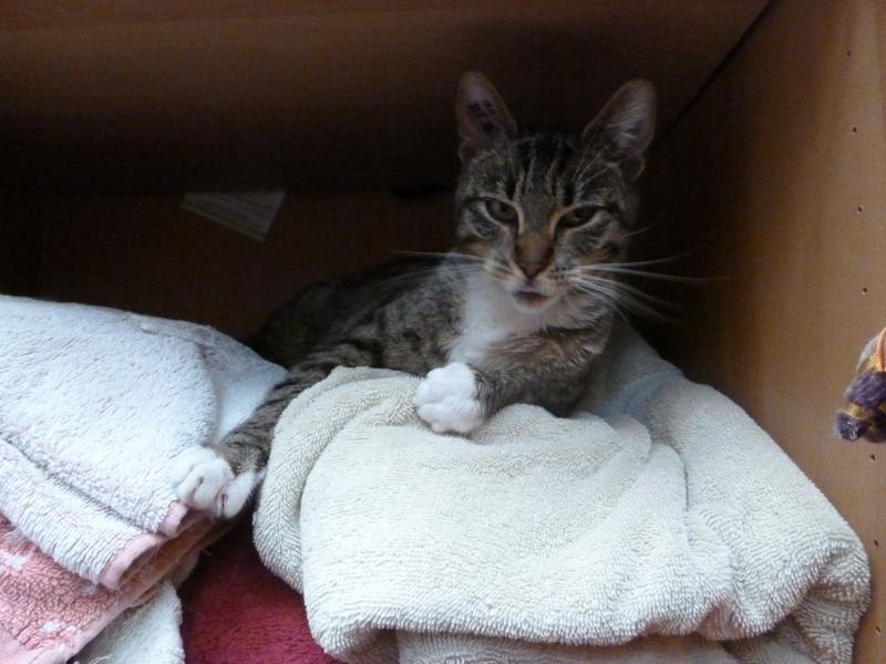 Sora, petite tigresse avec des chaussettes - ADOPTÉE P1080710