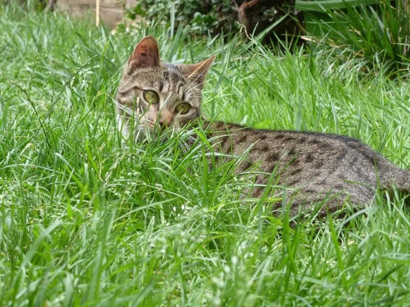Sora, petite tigresse avec des chaussettes - ADOPTÉE P1080816