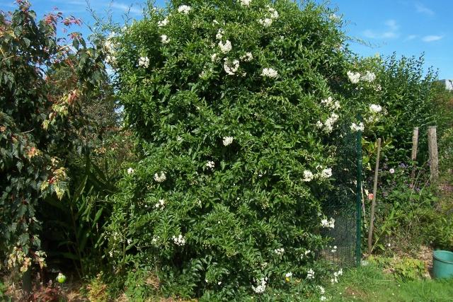 Solanum jasminoides - faux-jasmin - Page 2 100_6510